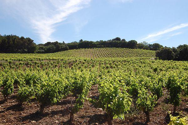 Vignoble AOC Châteauneuf-du-Pape au printemps