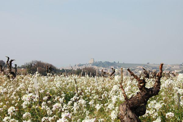 Le vignoble de l'AOC Châteauneuf-du-Pape - Fleurs