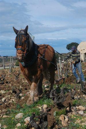 Olivier Pichaud et Aramis : l'art du cheval de labour